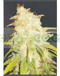 Critical Yumbolt (Delicious Seeds)
