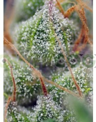 CRYSTAL CANDY® (SWEET SEEDS)