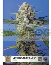 Crystal Candy F1 Fast Version (Sweet Seeds)-5