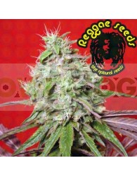 Dancehall (Reggae Seeds) Regular