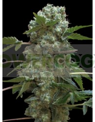 Doble AK 47 (Profesional Seeds)
