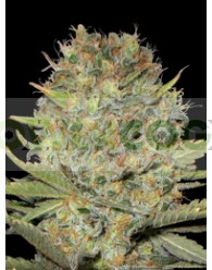 Dubble Gum (Profesional Seeds)