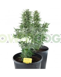 Easy Bud Autofloreciente (Royal Queen Seeds)