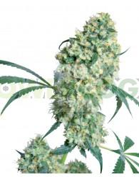 Ed Rosenthal Super Bud ® (Sensi Seeds) Regular