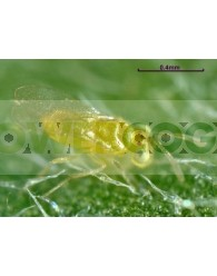 Eretmocerus Eremicus (contra Mosca Blanca) + Transporte Incluido