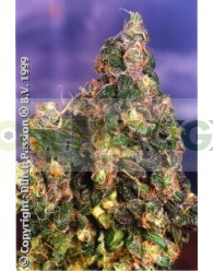 Flo (Dutch Passion Seeds)