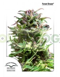 Forest Dream Feminizada (Dutch Passion Seeds)