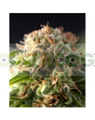 Fresh Candy (Pyramid Seeds) Feminizada