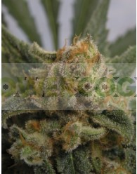 Grapegum Feminizada (Ripper Seeds)
