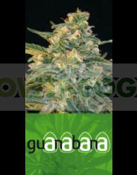 Guanabana (Blim Burn Seeds) Feminizada