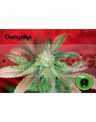 Guayaka (Reggae Seeds) Regular