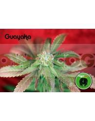 Guayaka (Reggae Seeds) Regular
