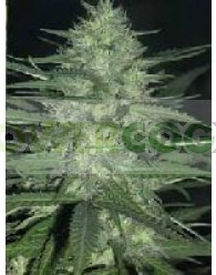 Guerrilla (Ace Seeds)