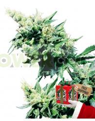 Hash Plant (Sensi Seeds) Regular