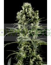 Himalaya Gold (Green House Seeds)