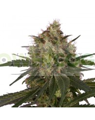 Ice (Royal Queen Seeds) Feminizada