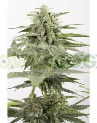 Industrial Plant Autoflowering CBD (Dinafem)