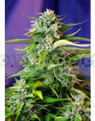 Jack 47 Auto 3G (Sweet Seeds)