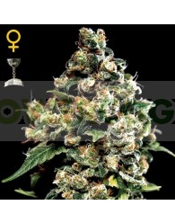 Jack Herer (Green House)