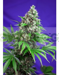 Killer Kush (F1 Fast Version) Sweet Seeds