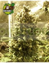 King Kong Five Feminizada (Mano Verde Seeds)