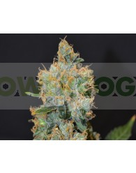 Lavender Feminizada (CBD Seeds)
