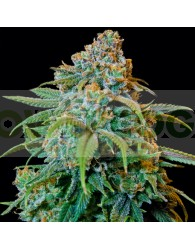 Liberty Haze (Barney´s Farm Seeds)
