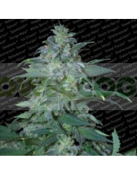 Magic Bud (Paradise Seeds) Regular