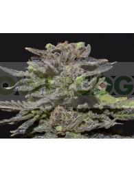Magma (CBD Seeds)