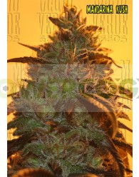 Mandarina Kush (Mano Verde Seeds)