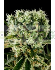 Moby Dick #2 (Dinafem Seeds)