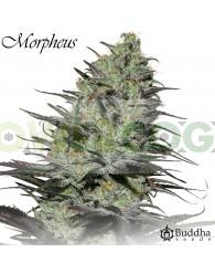 Morpheus CBD (Buddha Seeds)