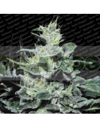 Nebula (Paradise Seeds) Regular