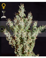NL5 Haze Mist Feminizada (Green House Seeds)