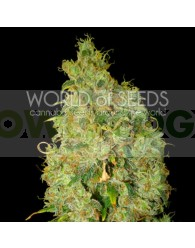 Northern Light x Skunk (World of Seeds)