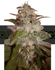 Orange Light Feminizada (SeedMakers)