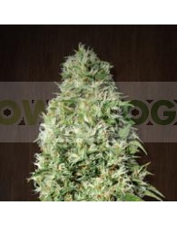 Orient Express Regular de Ace Seeds