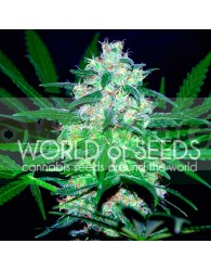 Pakistan Valley (World of Seeds) Feminizada