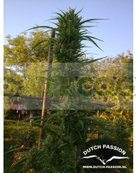 Passion #1 Regular (Dutch Passion Seeds)