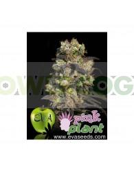 Pink Plant Feminizada (EVA SEEDS)