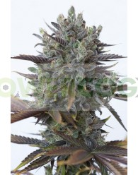 Purple Orange CBD (Dinafem Seeds) Feminizada