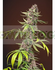 Red Mandarine F1 Fast Version (Sweet Seeds)