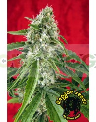 Dub (Reggae Seeds) Regular