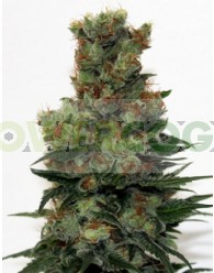 Ripper Badazz (Ripper Seeds) Semillas Regulares