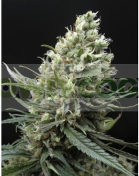 Ripper Haze (Ripper Seeds)