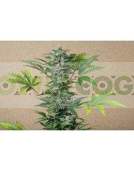 RoadRunner Automatic (Dinafem Seeds)