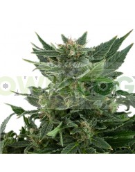 Royal Automatic (Royal Queen Seeds)