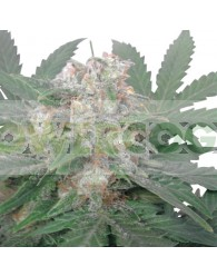 Royal Bluematic (Royal Queen Seeds)