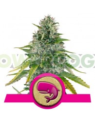 Royal Moby Feminizada (Royal Queen Seeds)
