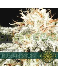 Russian Snow (Vision Seeds)